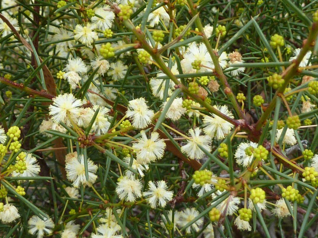 Acacia genistifolia Jean Geue