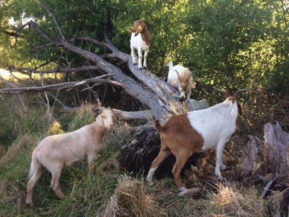 goats grazing near a dead tree