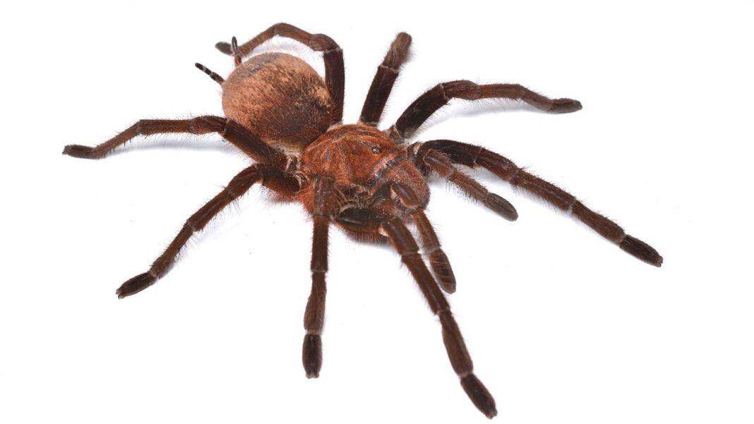 enezuelan Pinkfoot Goliath tarantula