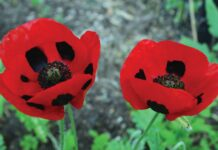 two poppies