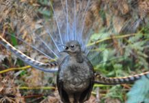 male lyrebird singing with his tail feathers on display