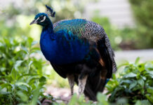 A peacock stands in a garden in Narrabundah, ACT, the same day a peafowl was killed by a hit and run.