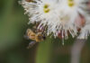 Bee on a flowering gum