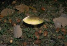 death cap mushroom growing amidst acorns on the ground