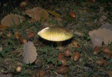 death cap mushroom growing amidst acorns on the ground