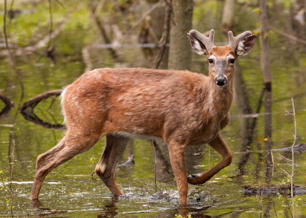 wild deer, deer,