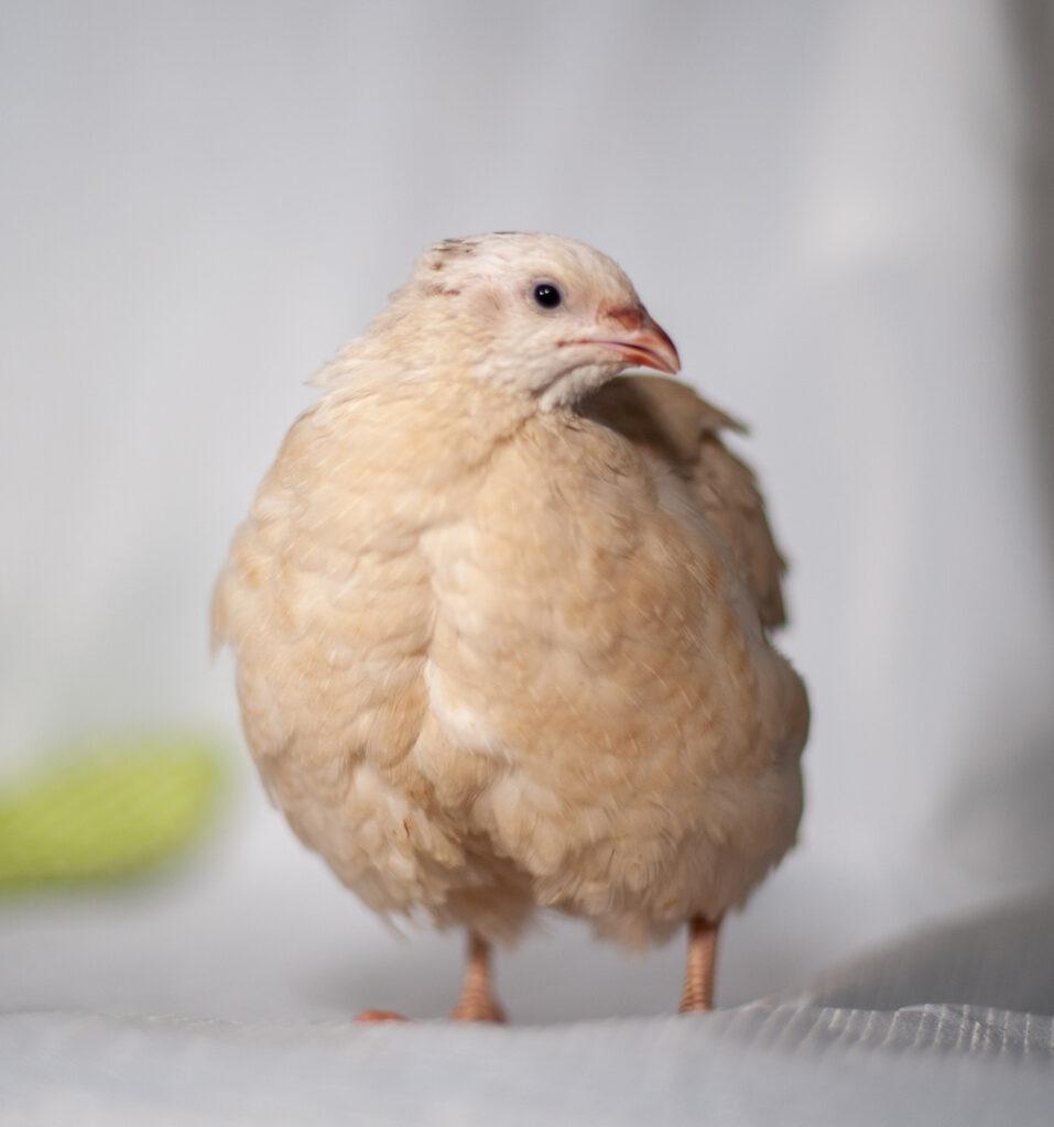 quial, bird,