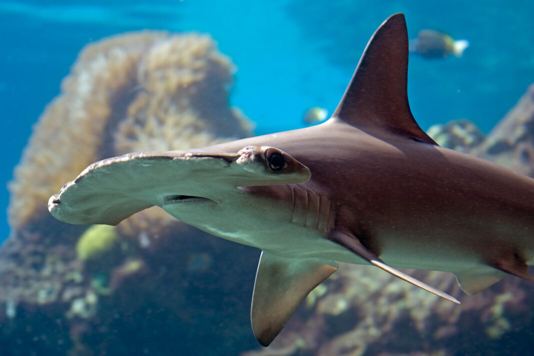 scalloped hammerhead shark swimming over a coral reef